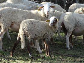 Vente de viande d'agneau livrée à domicile du 8 au 12 décembre