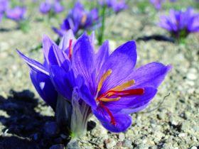 Visite de la safranière en fleurs