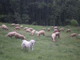 Vendredi 29 juin, vente directe d'agneau bio