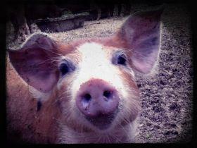 Commander votre viande de porc et charcuterie avec le Mas Pujol.