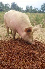Les dernières caissettes de viande de porc et charcuterie de Loïc Pujol arrivent...Passez vite commande!