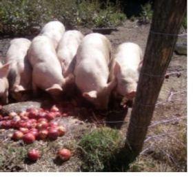Xabi Goyty et Elodie François vous proposent leur viande de porc Bio de St Michel de Cuxa